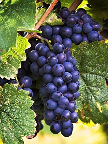 Merlot Vincent Wine Grape Vine - Grafted Certified - Plantable Year Round!