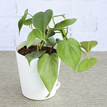 Ugaoo Philodendron Oxycardium Green Plant with Self Watering Pot