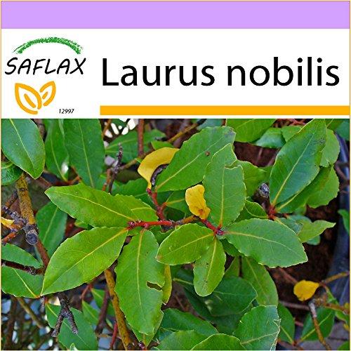 SAFLAX - Gewürzlorbeerbaum - 6 Samen - Laurus nobilis