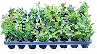 10 Blueberry bush plants 3