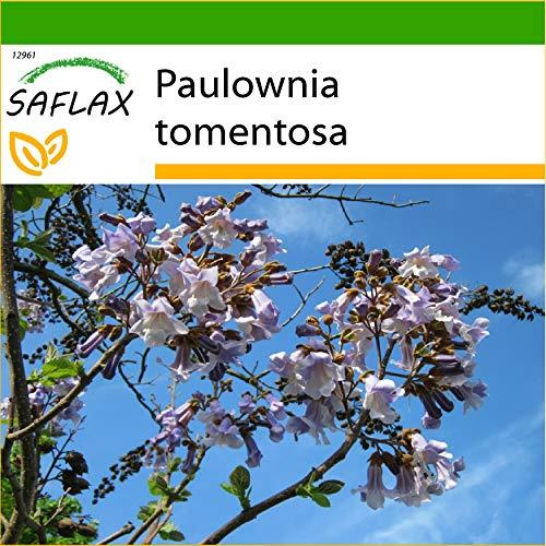 SAFLAX - Blauglockenbaum - 200 Samen - Mit keimfreiem Anzuchtsubstrat - Paulownia tomentosa