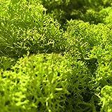 GJS Islandmoos - Moos in 1kg / 500g / 200g, versch. Farben - Echtes konserviertes Natur-Moos (Island) zum Basteln, Dekomoos für die Deko zu Ostern, Modellbau (hellgrün, 500g) - 5
