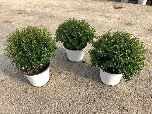 Myrtus Busch 40 cm Myrtus communis - Brautmyrte