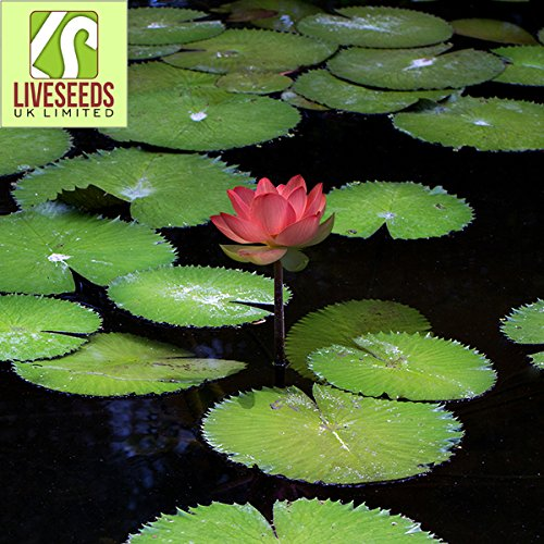 Liveseeds - Mini Minium Bonsai Lotus / Water Lily Flower / 5 graines fraîches