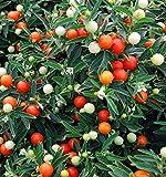 Jerusalem Cherry, Madeira Winter cherry Samen - Korallenstrauch