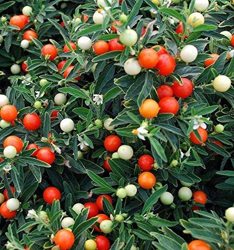 Jérusalem Cerise, Madeira Winter Cherry Graines - Solanum Pseudocapsicum