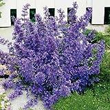 Lavendelblaue Katzenminze (Nepeta faassenii) - 3 Stück