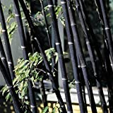 Auntwhale 100 piezas Bamboo Seed Black Bamboo