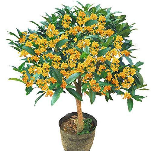 Osmanthus fragrans, semillas de árboles, osmanthus dorado, osmanthus de cuatro estaciones, ocho laurel, madera de agar, canela, 300 granos