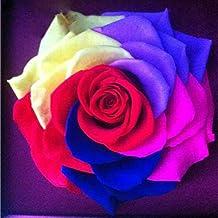 Ncient 200 Unios Semillas Rose Arco Iris Semillas Flores Raras Rose Rainbow Colores Semillas Aromaticas Plantas Bonsai para Maceta Jardín Balcon Interior y Exteriores