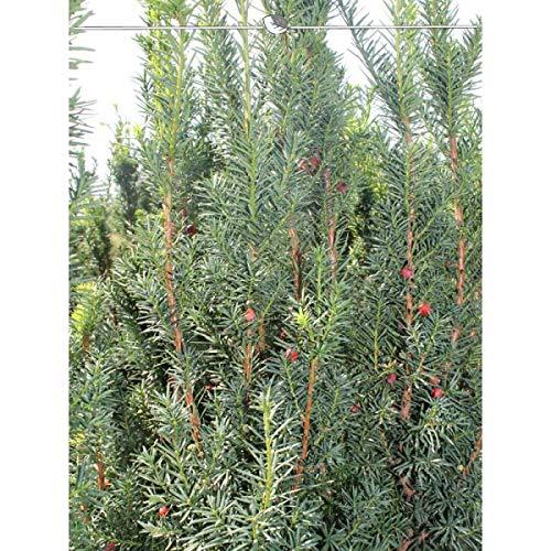 Taxus media Hicksii 100-120 cm. Angebot: 10-150 Eiben. Die weibliche Eibe: rote Beeren, immergrün und pflegeleicht. Fruchtende Bechereibe - Taxus Heckenpflanzen. Immergrüne Taxus Hecke | Inkl. Versand