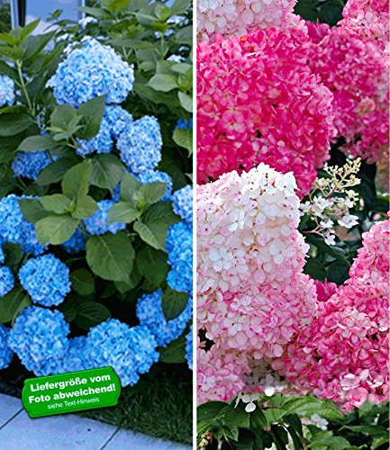 BALDUR-Garten Winterhart Hortensien-Sortiment Hydrangea blau und rosa, 2 Pflanzen Freiland-Hortensie 'Vanille Fraise® und Bauern-Hortensie 'Générale Vicomtesse de Vibraye®'