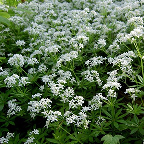 Sweet Woodruff Seeds (Galium odoratum) 10+ Organic Heirloom Seeds in FROZEN SEED CAPSULES for The Gardener & Rare Seeds Collector - Plant Seeds Now or Save Seeds for Many Years