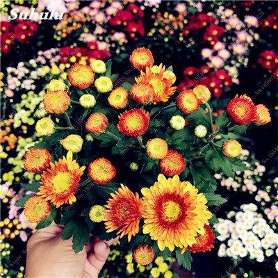 Grosses soldes! 50 Pcs Daisy Graines de fleurs crème glacée parfum de fleurs en pot Chrysanthemum jardin Décoration Bonsai Graines de fleurs 7