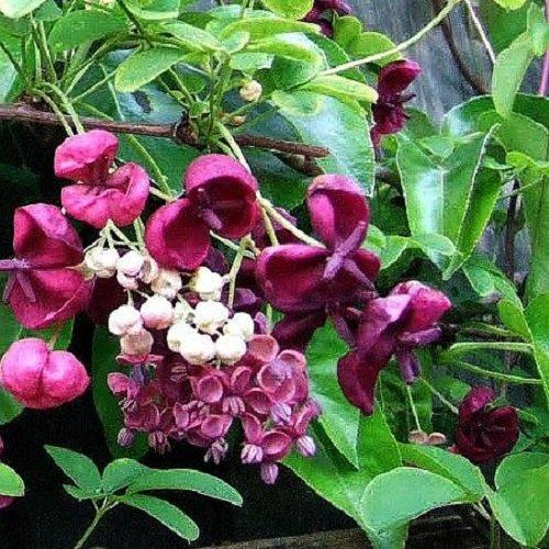 2 x Akebia Quinata Pflanzen (Immergrün) - Fingerblättrige Klettergurke/Schokoladenwein/Akebie - 1,5 Liter Topfen & Winterhart | ClematisOnline Kletterpflanzen