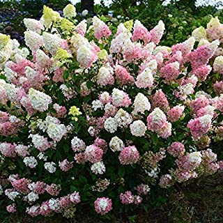 20 pcs semillas Hydrangea paniculata 'vainilla Fraise' fresa de hortensia semillas de flores bonsai semillas de plantas en...