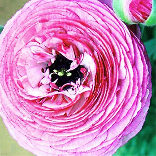Zaden voor het planten,100 Stks/zak Ranunculus Asiaticus Zaden Niet GMO Verfraaiend Helder Gekleurde Hoge opbrengst…