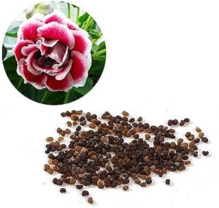 Kaimu Bonsai Gloxinia Seeds Perennial Flowering Plant Seeds Flowers