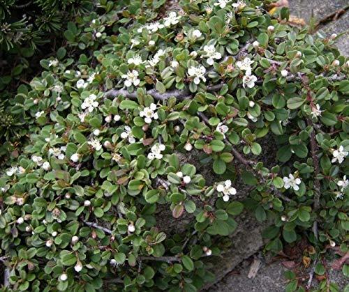 Cotoneaster procumbens Streibs Findling - Kriechmispel Streibs Findling - Zwergmispel - Preis nach Stückzahl 20 Stück