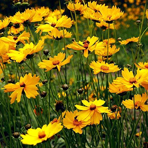 XINDUO Blumensamen für Bienen,Gartenlandschaft Pflanze Coreopsis Samen-0,5 kg,Die Blumensamen im Garten Arbeiten