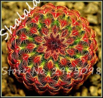 Nouvelle arrivee! 20 Graines frais Succulent Cactus boule Graines, variété de couleurs, Intérieur aérobie Potted haute Germination Graines de fleurs 2