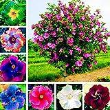 Hibisco Semillas, 300pcs / bolsa de semillas de hibisco Forma magnífico gigante Mezclar las semillas de flor rústica de color para el balcón