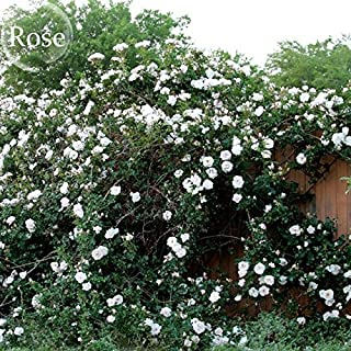 Solution Seeds Farm Heirloom Single Petalled White Climbing Rose Flower, 100 Seeds, strong fragrant garden climbing flowers