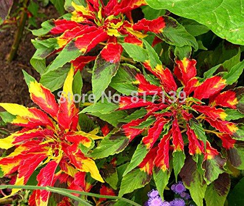 Diy jardin des plantes 100+ Graines Amaranthus Tricolor Perfecta * attraper Eye * Graines Showy * Fleur Livraison gratuite