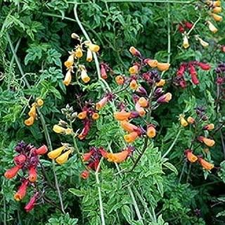 200 Chilean Glory Vine Seeds Eccremocarpus AIND-540