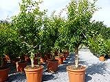 ANGEBOT: XXL Punica Granatum 170-180 cm Granatapfelbaum Obstbaum Obst Apfelbaum Apfel