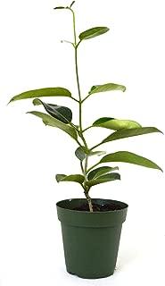 9GreenBox - Bridal Flower Stephanotis Madagascar Jasmine - 4'' Pot