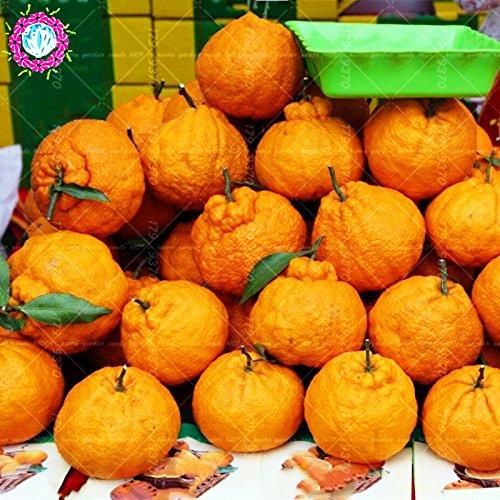 40pcs / sac laid graines orange arbre orange seeds.Perennial de gaint délicieux graines de jus de fruits pour la plantation maison et jardin haute nutrition