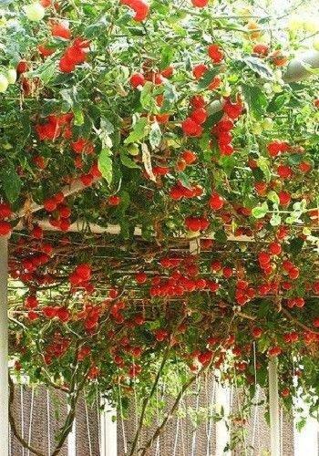 Erbstück NON GMO Riesen italienische Tomatenbaum 25 Samen