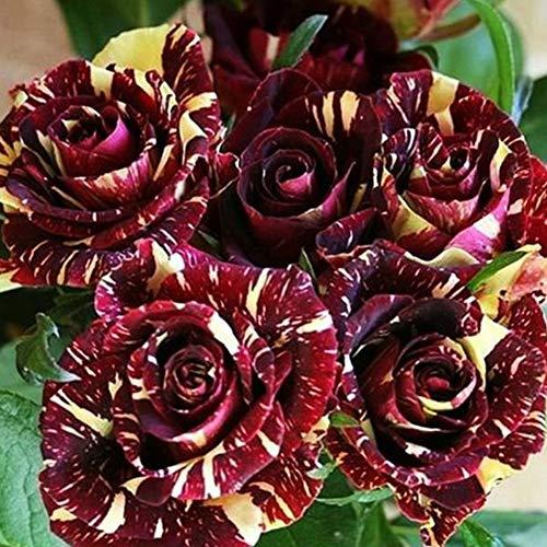 Meteorschauer Rosensamen 100+ (Rosa Rugosa Thunb)Easy Grow Bio Blumen Frische Pflanzen Samen für Pflanzen Garten Outdoor