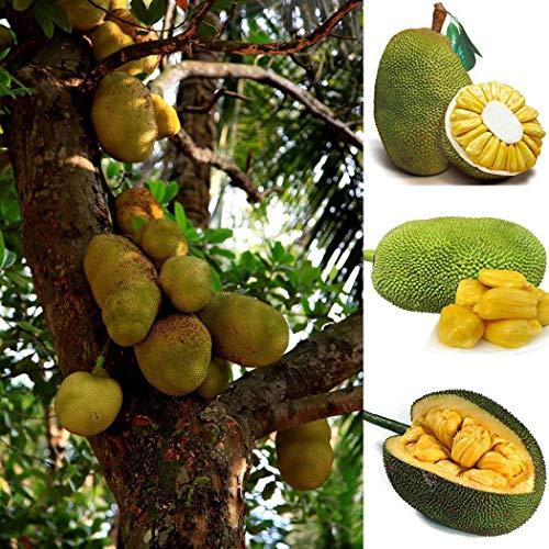 Qulista Samenhaus - 50pcs BIO Jackfruchtbaum, Artocarpus heterophyllus Jaca, Nangka Exotische Früchte Obst Saatgut mehrjährig winterhart