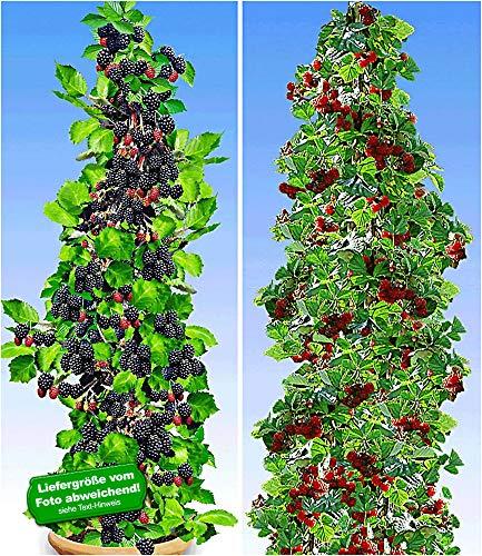 BALDUR-Garten Säulen-Beeren-Kollektion 2 Pflanzen Säulen-Brombeere Navaho® Big&Early und 1 Pflanze Japanische Säulen-Himbeere Säulenobst winterhart