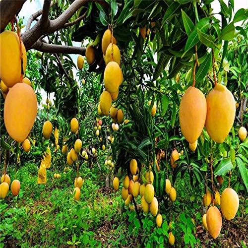 3 Pcs Mango Seedsplants Outdoor Bonsai Flower Fruit and Vegetable Mango Seeds Succulent Plant Garden Supplies Decoration New : Yellow
