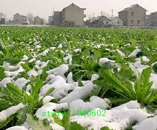 Shuidong moutarde chou gros l/égumes graines de moutarde semer des graines de l/égumes de printemps 300 capsules