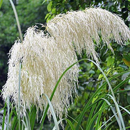 Weiß Reed Samen, 100Pcs Reed Samen...