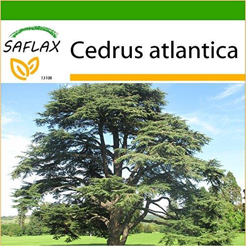 SAFLAX - Nordafrikanische Atlas Zeder - 20 Samen - Mit keimfreiem Anzuchtsubstrat - Cedrus atlantica