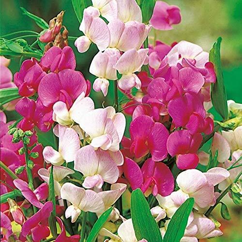 Lathyrus Latifolius Ever Lasting Sweet Pea Approx 20 Seeds Fairy Flower Seeds