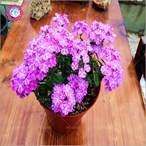 graines 100pcs Verveine seeds.Verbena HORTENSIS, graines de bonsaï rares fleurs Hanging plantes balcon intérieur fleurs pour le jardin à la maison 13