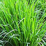 Zoom IMG-2 lemongrass citronella cymbopogon citrus semi