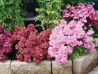 Semillas de Mariposa Flor mezcladas - Schizanthus wisetonensis