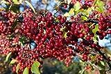 Asklepios-seeds® - 250 Semillas de Aronia arbutifolia