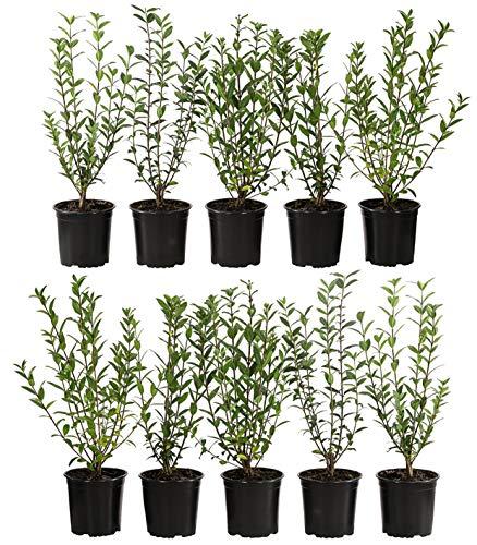 Dehner Liguster, für 2 Meter Hecke, ca. 50-60 cm, 10 x 2 l Topf, Heckenpflanze