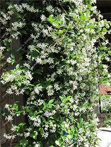 8: 100 pezzi Semi di fiori di gelsomino rampicante esotici Semi di gelsomino colorati Pianta profumata Semi di gelsomino arabo Pianta bonsai Giardino domestico