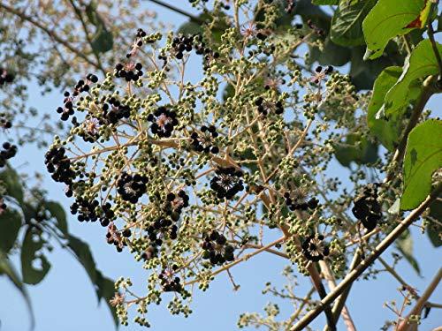 Japanische Aralie Aralia elata Pflanze 15-20cm Angelikabaum Teufelskrückstock