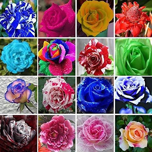 100 pcs couleur mélange fleur Graine Hollande Rose Graine de bricolage Accueil Jardinage Fleurs