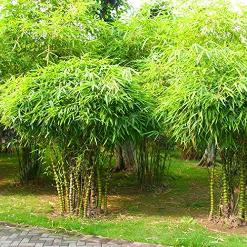 AIMADO Samen-50 Pcs Bambussamen exotische Samen, schnellwüchsigsten Zimmerpflanzen, Buddhabauch bambus pflanzen sehr gut als Kübelpflanze oder Bonsai